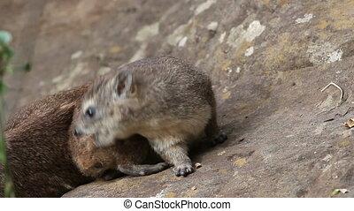 Rock hyrax basking - Yellow-spotted rock hyrax (Heterohyrax...