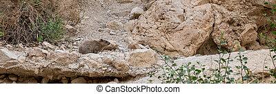 Rock hyrax in ein gedi israel - Rock hyrax ,Procavia...