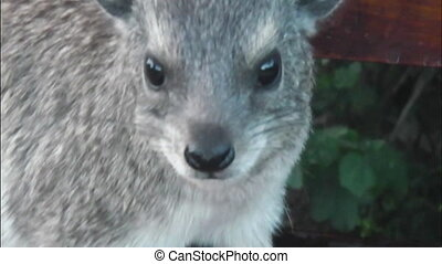 rock hyraxs Tanzania - rock hyraxs closeup portrait in the...