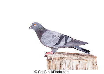 Rock Pigeon on white