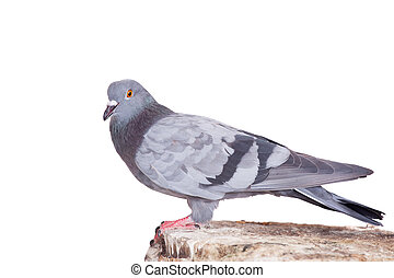 Rock Pigeon on white - Rock Pigeon, Columba livia, isolated ...