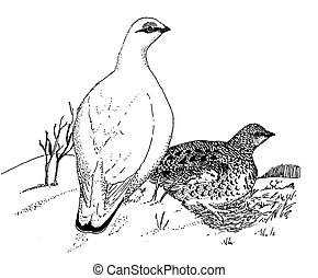 Rock Ptarmigan pair - Lagopus mutus Pen-and-Ink Drawing