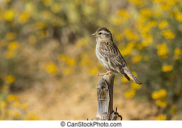Rock Sparrow ( Petronia Petronia ) perched on his perch