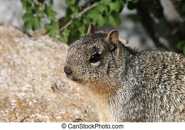 Rock Squirrel Portrait
