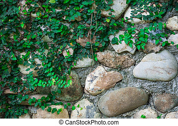 Rock wall and climber plant
