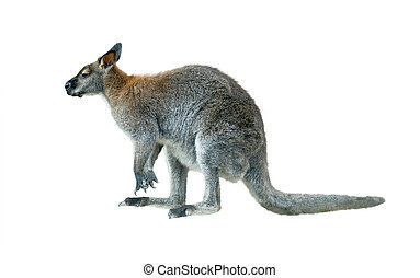 rock wallaby isolated - rock wallaby young male isolated...