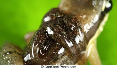 Rocket Frog (Allobates insperatus) - Male carrying tadpoles....