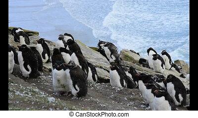 Rockhopper Penguin colony molting at Falkland Island