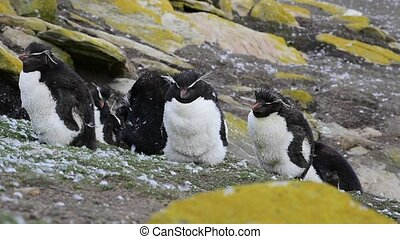 Rockhopper penguin colony - Rockhopper Penguin molting...