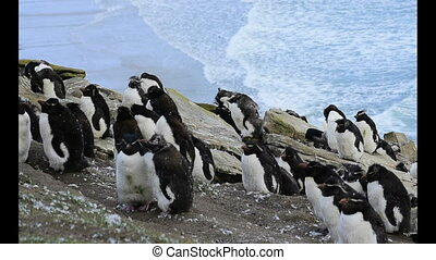 Rockhopper Penguin colony molting at Falkland Island