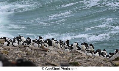 Rockhopper penguin colony - Rockhopper Penguin molting...