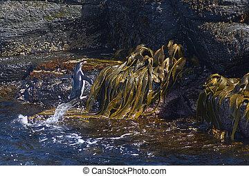 Rockhopper Penguins coming ashore - Rockhopper Penguins...