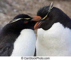 Rockhopper Penguins (Eudyptes Chrysocome) on Pebble Island in West Falkland in The Falkland Islands