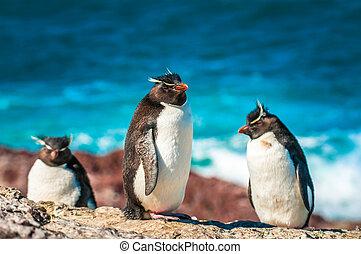 Rockhopper penguins, Patagonia, Argentina