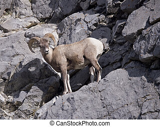 Rocky Mountain Bighorn Sheep - Bighorn Sheep in Jasper...