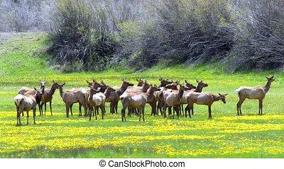 Rocky Mountain Elk - rocky mountain elk feed in a meadow...