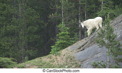 Mountain Goat - Rocky Mountain Goat climbing along a cliff