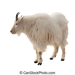 Rocky mountain goat. Isolated over white