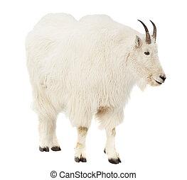 Rocky mountain goat over white background - Rocky mountain...