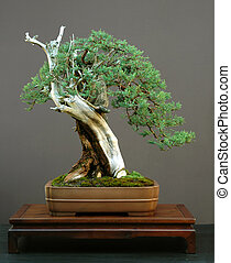 Rocky Mountain Juniper bonsai - Rocky Mountain Juniper,...