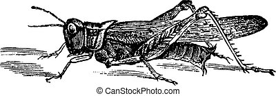 Rocky Mountain Locust or Melanoplus spretus vintage...