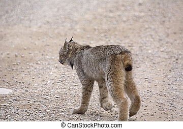 Rocky Mountain Lynx Alberta Canada Close young