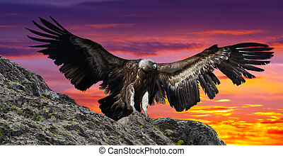 rocky mountains gyps - Flying gyps with huge wing span in ...