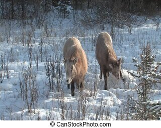 Rocky Mt Sheep in Jasper Alberta Canada
