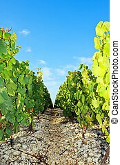 Rocky path near vineyards