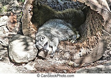 Rocky Racoon rests in the son - This racoon has a sleeping...