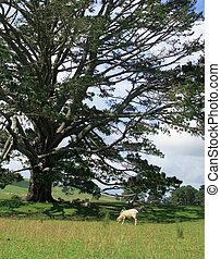 rodante, campo, en, nueva zelandia