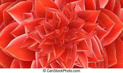 rode bloem, opening