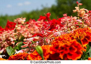rode bloemen, in, een, tuin