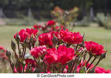 rode rozen, in de tuin