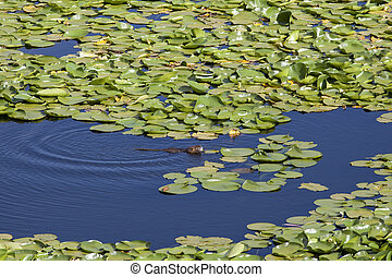 Rodent Muskrat-Ondatra in the Water
