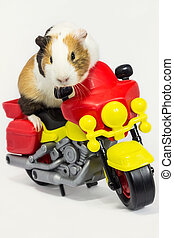 Rodent on a motorcycle. - A Guinea pig is sitting on a toy...