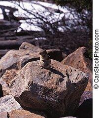 Rodent on rock, Alberta, Canada.