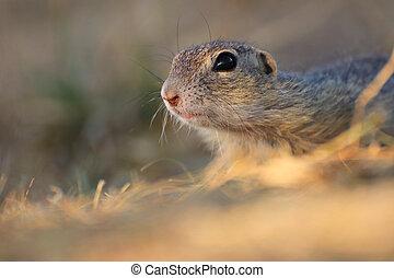 Rodent, squirrel, suslik in grass