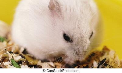 rodents., portret, strzelony., close-up., makro, chomik