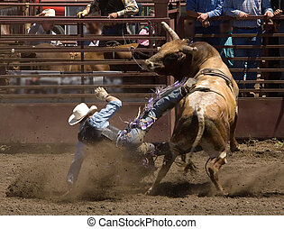Rodeo Bull Rider - Rider at 2006 Russian River Rodeo,...