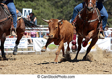 Rodeo Steer Running - A steer is pursued during a rodeo...