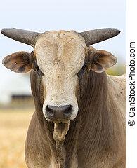 rodeo, touro