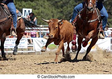 rodeo, wyścigi, młody wół