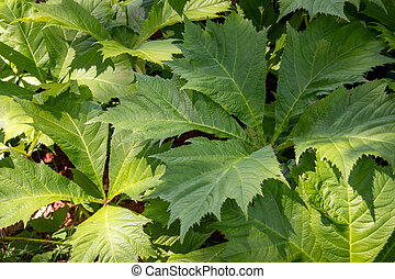 Rodgersia sambucifolia foliage plant in the garden