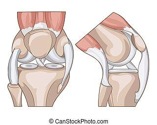 rodilla, vector, anatomy., estructura, coyuntura