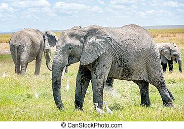 rodina, o, slon, do, keňa, afrika