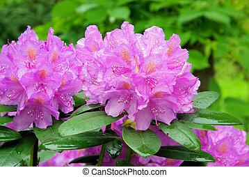 rododendro, 14