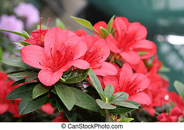 rododendro, azalea