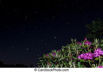 Rododendro, azzurramento, stelle, sotto