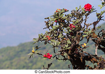 rododendro, doi, nacional, inthanon, parque, arboreum, tailandia